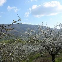 Cerezos en flor. Valle del Jerte. Cáceres.